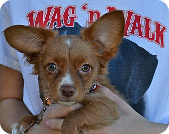 Chihuahua Mix Puppy for adoption in Simi Valley, California - Yosemite