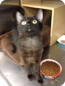 Domestic Mediumhair Kitten for adoption in San Leandro, California - Stella