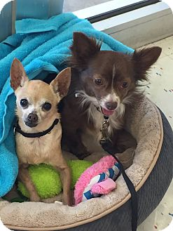 Chihuahua Dog for adoption in Cleveland, Oklahoma - Sadie
