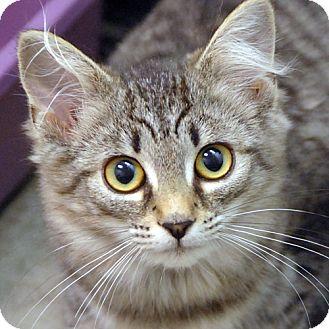 Domestic Mediumhair Kitten for adoption in Salem, Massachusetts - Mabel