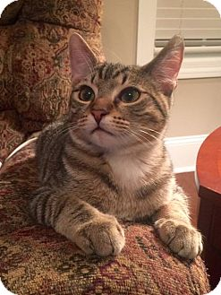 Domestic Shorthair Kitten for adoption in Homewood, Alabama - Russell