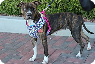 American Pit Bull Terrier Mix Dog for adoption in Las Vegas, Nevada - PEBBLES