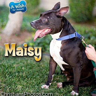 Staffordshire Bull Terrier/Labrador Retriever Mix Dog for adoption in Dana Point, California - Maisy