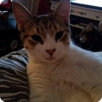 Domestic Shorthair Kitten for adoption in Middletown, Ohio - Hogan