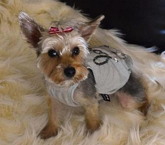 Yorkie, Yorkshire Terrier Dog for adoption in Springfield, Virginia - Mookie