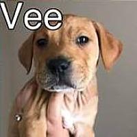Adopt A Pet :: Vee - PEORIA, AZ