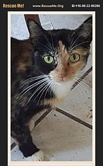 Domestic Shorthair Cat for adoption in Los Angeles, California - Pearl
