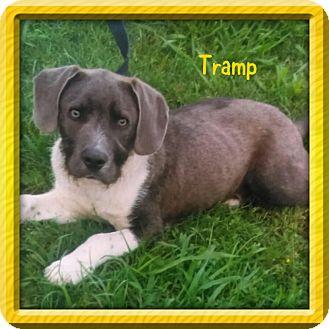 Schnauzer (Standard)/Weimaraner Mix Puppy for adoption in knoxville, Tennessee - TRAMP