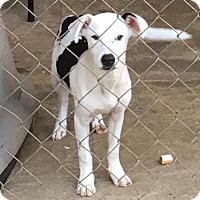 Adopt A Pet :: Spade - Cairo, GA