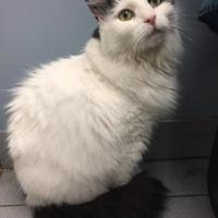 Domestic Longhair/Domestic Shorthair Mix Cat for adoption in Buffalo, New York - Patrick La La Fontain