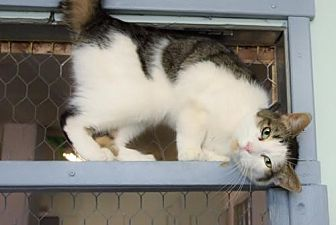 Domestic Shorthair Cat for adoption in Montreal, Quebec - Louis