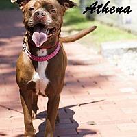 Adopt A Pet :: Athena - Fall River, MA