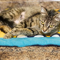 Adopt A Pet :: Giblet - Martinsville, IN