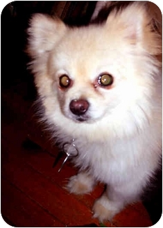 Pomeranian Dog for adoption in New York, New York - Payton