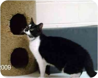 Domestic Shorthair Cat for adoption in Albany, Georgia - Petie