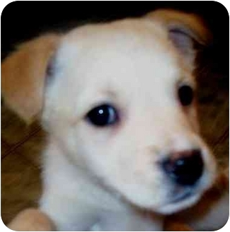 Terrier (Unknown Type, Medium) Mix Puppy for adoption in Chapel Hill, North Carolina - Taia