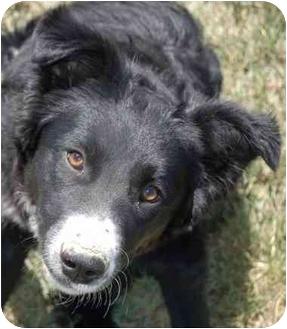 Border Collie/Australian Shepherd Mix Dog for adoption in Denver, Colorado - Lu