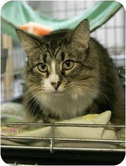 Domestic Mediumhair Cat for adoption in Fernandina Beach, Florida - Mary