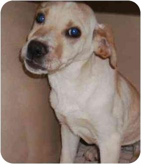 Labrador Retriever Mix Puppy for adoption in Lincolnton, North Carolina - Brodie the Lab mix