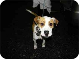 American Bulldog Mix Dog for adoption in Mary Esther, Florida - Sophie