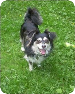 Chihuahua/Dachshund Mix Dog for adoption in Seattle c/o Kingston 98346/ Washington State, Washington - Rosie
