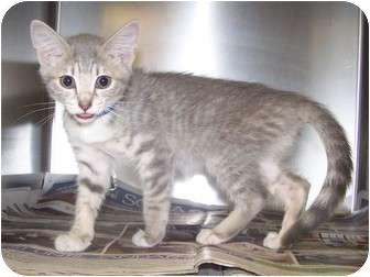 Domestic Shorthair Kitten for adoption in Rockingham, North Carolina - Spike