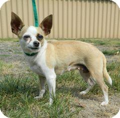 Chihuahua Mix Dog for adoption in Columbus, Nebraska - Penelope