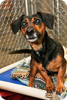Dachshund Mix Dog for adoption in Kalamazoo, Michigan - Gina