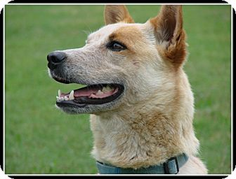 Australian Cattle Dog Mix Dog for adoption in Middletown, Connecticut - Ben - a great dog. Watch video