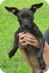Labrador Retriever/Hound (Unknown Type) Mix Puppy for adoption in Bloomfield, Connecticut - Clue