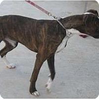 Adopt A Pet :: Bella - Yerington, NV