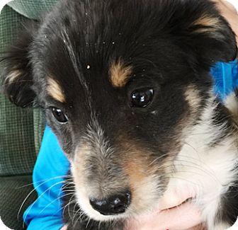 Australian Shepherd/Border Collie Mix Puppy for adoption in Oswego, Illinois - I'M ADOPTED Pnut Budr Schradel
