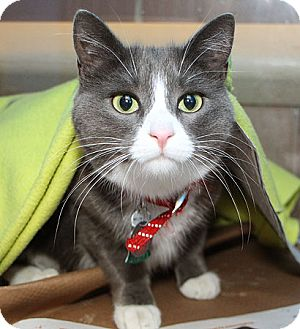 Domestic Shorthair Cat for adoption in Port Washington, New York - Miss Muffet