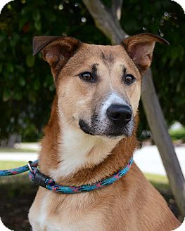 German Shepherd Dog Mix Dog for adoption in Wilmington, North Carolina - Tucker