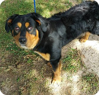 Rottweiler Mix Dog for adoption in North Haven, Connecticut - Samson