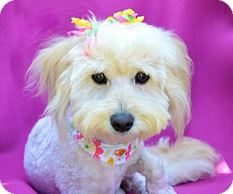 Maltese/Poodle (Miniature) Mix Dog for adoption in Irvine, California - Maysie