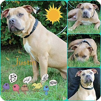 American Pit Bull Terrier Mix Puppy for adoption in Pittsburgh, Pennsylvania - Justin