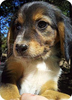Sheltie, Shetland Sheepdog/Beagle Mix Puppy for adoption in Kittery, Maine - Scarlett