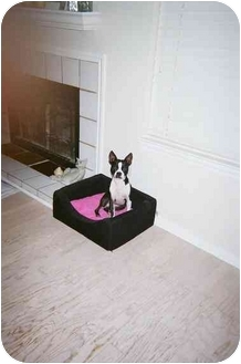 Boston Terrier Dog for adoption in Lewisville, Texas - Franchesca