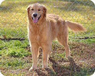 Golden Retriever Dog for adoption in New Canaan, Connecticut - Rose Bud