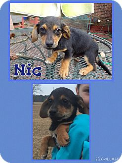 Dachshund Mix Puppy for adoption in East Hartford, Connecticut - Nic Pending Adoption