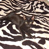 Adopt A Pet :: Panther - Old Town, FL