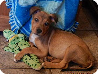 Carolina Dog/Shepherd (Unknown Type) Mix Puppy for adoption in Burlington, Vermont - Lola (10 lb) New Pics & Video!