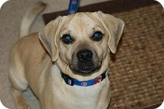Pug/Beagle Mix Dog for adoption in Cedar Rapids, Iowa - Simon