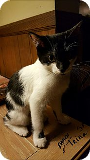 Manx Kitten for adoption in San Diego, California - TRINA