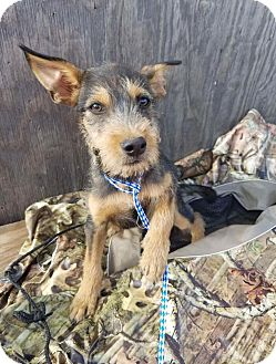 Terrier (Unknown Type, Medium) Mix Puppy for adoption in Oxford, Connecticut - Chad
