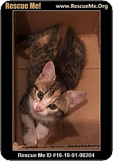 Calico Kitten for adoption in Waldorf, Maryland - Jazzy