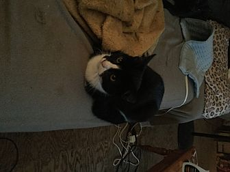 Domestic Shorthair Kitten for adoption in Rochester, New York - Mallory