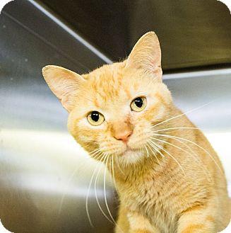Domestic Shorthair Cat for adoption in Seville, Ohio - Phillip
