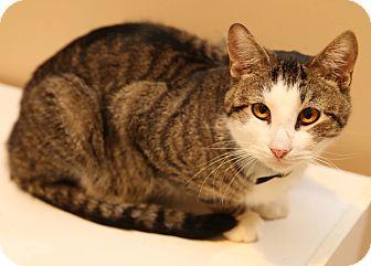 Domestic Shorthair Cat for adoption in Newtown, Connecticut - Edgar: Barn Cat